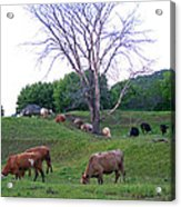 Cows In Rolling Hills Acrylic Print