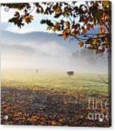 Cows In The Fog Acrylic Print