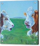 Cows Lying Down Chatting Acrylic Print