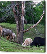 Cows Of Color Acrylic Print