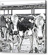 Cows Pencil Sketch Acrylic Print