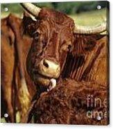 Cows Salers Acrylic Print by Bernard Jaubert
