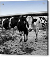 Cows Three In One Acrylic Print
