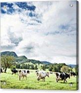 Cows Walk In Beautiful Paddock Acrylic Print
