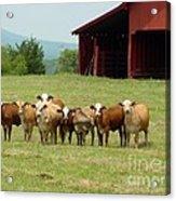 Cows8918 Acrylic Print