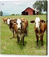 Cows8931 Acrylic Print
