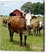 Cows8945 Acrylic Print