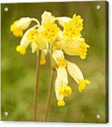 Cowslip   Primula Veris Acrylic Print