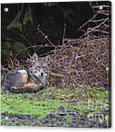 Coyote Curled Up Acrylic Print