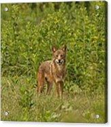 Coyote Happy Acrylic Print