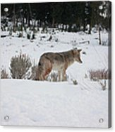 Coyote In Crossing Acrylic Print