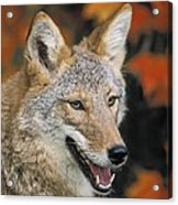 Coyote In Maple Acrylic Print
