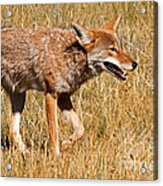 Coyote In Rocky Mountain National Park Acrylic Print