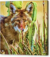 Coyote In The Aloe Acrylic Print