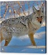 Coyote In The Blue Acrylic Print