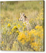 Coyote In The Chamisa Acrylic Print