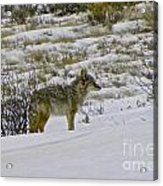 Coyote In The Snow Acrylic Print
