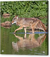 Coyote Looking For Breakfast Acrylic Print