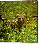Coyote Of The Woods Acrylic Print