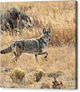 Coyote On The Move Acrylic Print