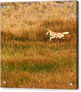 Coyote Pup Acrylic Print by Rebecca Adams