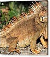 Cozumel Iguana Vacation Acrylic Print