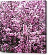 Crab Apple Tree Acrylic Print