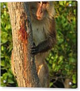 Crab Eating Macaque Acrylic Print by Ramona Johnston