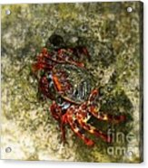 Crab In Cozumel Acrylic Print
