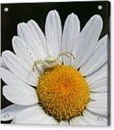 Crab Spider On Daisy Acrylic Print