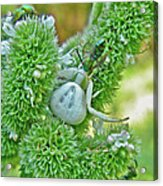 Crab Spider - Thomisidae Acrylic Print