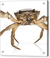 Crab Suriname Acrylic Print