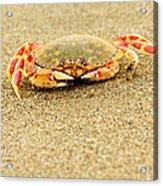 Crab Walk Acrylic Print by Rebecca Adams