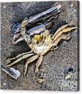 Crab With A Feather Acrylic Print