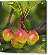 Crabapple Bunch Acrylic Print