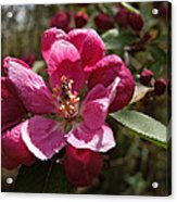 Crabapple Insect Acrylic Print