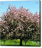 Crabapple Orchard Acrylic Print