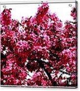 Crabapple Tree Blossoms Acrylic Print
