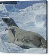 Crabeater Seal On An Iceberg Acrylic Print