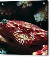 Crabs 1 Acrylic Print