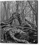 Craggy Roots Acrylic Print