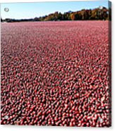 Cranberry Bog In New Jersey Acrylic Print