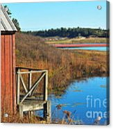 Cranberry Harvest  Acrylic Print by Catherine Reusch Daley