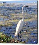 Crane At Pond Acrylic Print