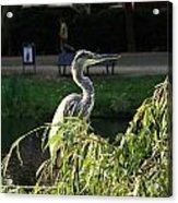 Crane In Evening Light Acrylic Print
