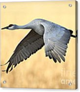 Crane Over Golden Field Acrylic Print