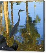 Crane Standing Still Acrylic Print