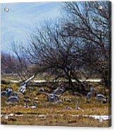 Cranes And Mixed Ducks Acrylic Print
