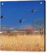 Cranes In Flight Acrylic Print