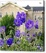 Cranesbill Blue Geranium Acrylic Print